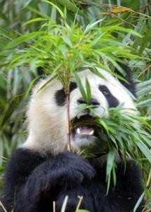 panda-cibo